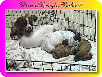 Boxer/Beagle Mix Puppy for adoption in Delaware, Ohio - Lexie