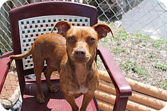Terrier (Unknown Type, Small)/Dachshund Mix Dog for adoption in Bunnell, Florida - Brystol