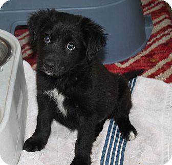 Border Collie Mix Puppy for adoption in Naperville, Illinois - Ava