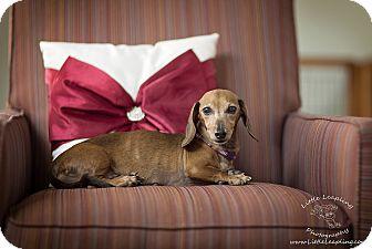 Dachshund Dog for adoption in Manhattan, Kansas - Cinnamon- adoption pending