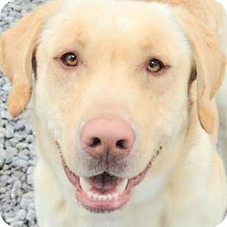 Labrador Retriever Dog for adoption in Winchester, Kentucky - MARCUS(THE LAB OF A LIFETIME!