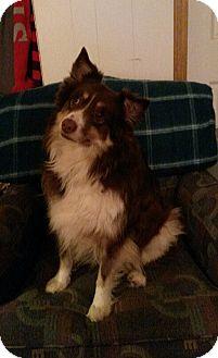 Australian Shepherd Dog for adoption in Delaware, Ohio - Bear