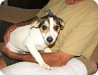 Beagle/Terrier (Unknown Type, Small) Mix Puppy for adoption in Westwood, New Jersey - Cara