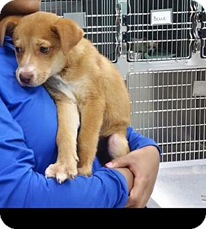 Terrier (Unknown Type, Medium)/Retriever (Unknown Type) Mix Puppy for adoption in St. Francisville, Louisiana - Enzo