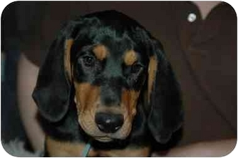 Black and Tan Coonhound/Labrador Retriever Mix Puppy for adoption in Claymont, Delaware - Sally