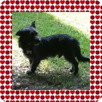 Terrier (Unknown Type, Small)/Scottie, Scottish Terrier Mix Dog for adoption in Arcadia, California - Moonbeam