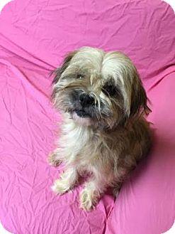 Shih Tzu Mix Dog for adoption in Philadelphia, Pennsylvania - Coco