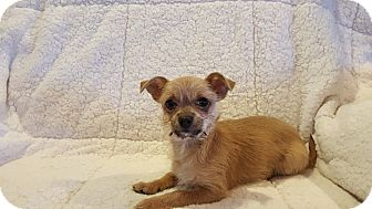 Terrier (Unknown Type, Small)/Chihuahua Mix Puppy for adoption in Marietta, Georgia - Scrappy Doo
