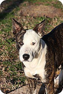 Blue Heeler/Staffordshire Bull Terrier Mix Dog for adoption in Georgetown, Texas - Bandit