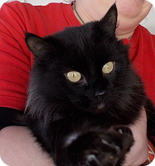 Domestic Longhair Cat for adoption in Middletown, New York - Luna