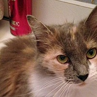 Domestic Longhair Cat for adoption in Durham, North Carolina - Jasmine