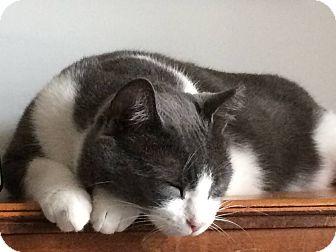 Domestic Mediumhair Cat for adoption in Brooklyn, New York - Silk
