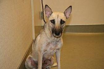 Shepherd (Unknown Type) Mix Dog for adoption in Wildomar, California - Maxine