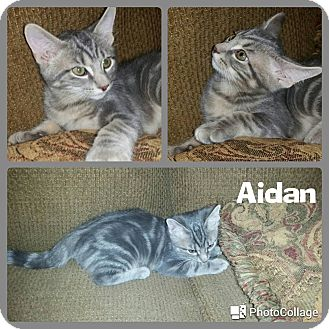 Domestic Shorthair Kitten for adoption in Arlington/Ft Worth, Texas - Aidan