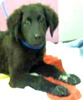 Labradoodle Mix Puppy for adoption in Boulder, Colorado - Scout-ADOPTION PENDING
