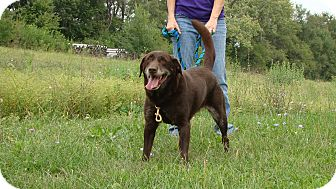Labrador Retriever Mix Dog for adoption in Cameron, Missouri - Ginger