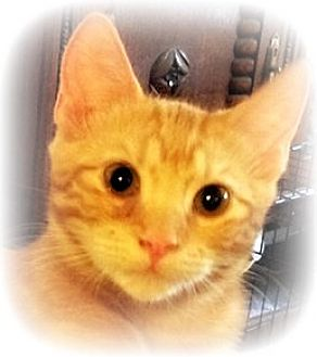 Manx Kitten for adoption in Ocean Springs, Mississippi - Jax