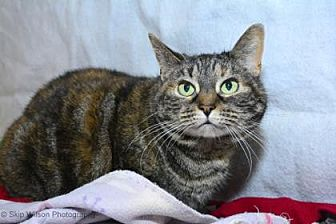 Domestic Shorthair/Domestic Shorthair Mix Cat for adoption in Neenah, Wisconsin - Kit Kat