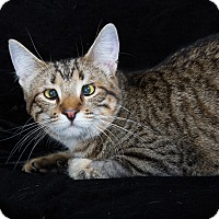 Bengal Cat for adoption in Nashville, Tennessee - Panda