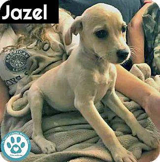 Terrier (Unknown Type, Small)/Spaniel (Unknown Type) Mix Puppy for adoption in Kimberton, Pennsylvania - Jazel