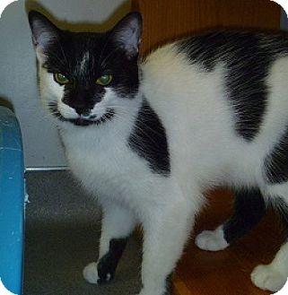 Domestic Shorthair Cat for adoption in Hamburg, New York - Annelise