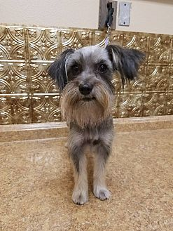 Havanese/Yorkie, Yorkshire Terrier Mix Dog for adoption in Inland Empire, California - SHAYLA