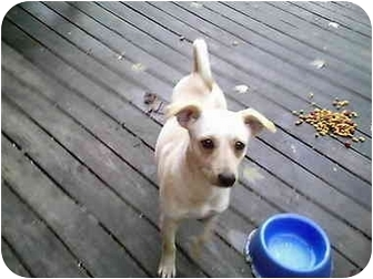 Dachshund/Terrier (Unknown Type, Small) Mix Dog for adoption in all of, Connecticut - Frieda