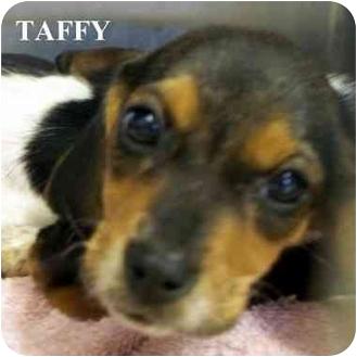Beagle Mix Puppy for adoption in Slidell, Louisiana - TAFFY
