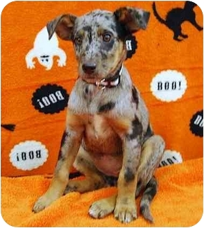 Catahoula Leopard Dog Mix Puppy for adoption in Broomfield, Colorado - Muggles