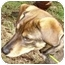Photo 3 - Beagle/German Shepherd Dog Mix Puppy for adoption in Kansas City, Missouri - Courtesy List-Coconut