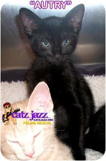 Domestic Shorthair Kitten for adoption in Cedar Creek, Texas - Autry