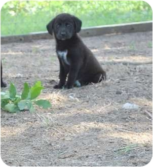 Flat-Coated Retriever Mix Puppy for adoption in New Boston, New Hampshire - Tizzy