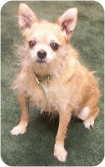 Chihuahua Dog for adoption in Struthers, Ohio - Bridget
