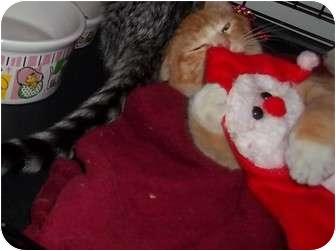 Domestic Shorthair Kitten for adoption in Little Neck, New York - SONNY