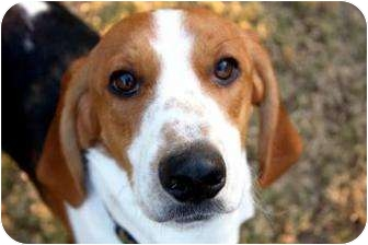 Beagle Mix Puppy for adoption in Phoenix, Arizona - Franny