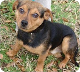 Chihuahua/Feist Mix Dog for adoption in Staunton, Virginia - Twix