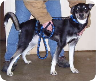 Husky Mix Puppy for adoption in Somerset, Pennsylvania - Roxy