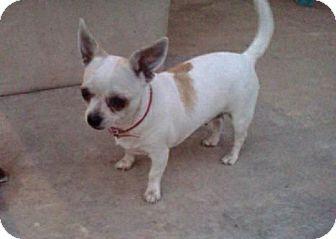 Chihuahua Dog for adoption in Van Nuys, California - PRINCESS PINKY