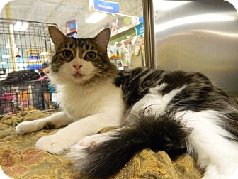 Domestic Longhair Cat for adoption in The Colony, Texas - Mimi