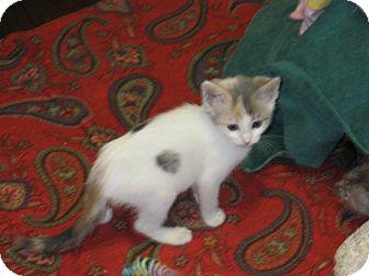 Domestic Shorthair Kitten for adoption in Coronado, California - Sparrow