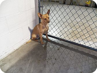 Chihuahua Dog for adoption in Osceola, Arkansas - Harpo