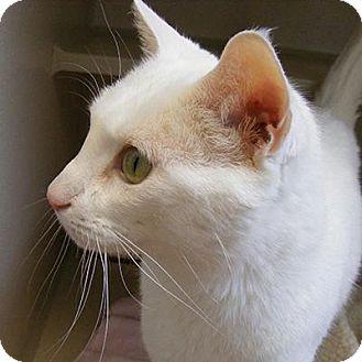 Domestic Shorthair Cat for adoption in Denver, Colorado - Surprise