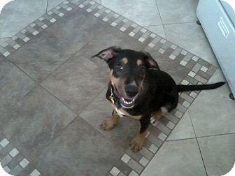 Rottweiler Mix Puppy for adoption in Las Vegas, Nevada - Apollo