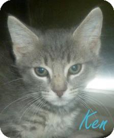 Domestic Shorthair Kitten for adoption in Georgetown, South Carolina - Ken