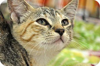 Domestic Shorthair Kitten for adoption in Great Falls, Montana - Tessie