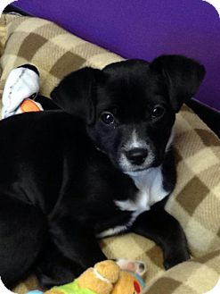 Chihuahua/Terrier (Unknown Type, Small) Mix Puppy for adoption in Charlotte, North Carolina - Avery