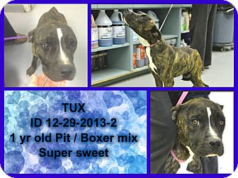 American Pit Bull Terrier Mix Dog for adoption in Rowlett, Texas - Tux