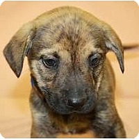 Adopt A Pet :: Rosemary - Broomfield, CO