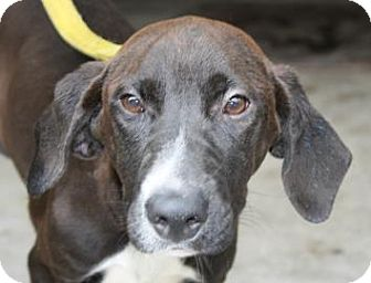Hound (Unknown Type) Mix Puppy for adoption in Brooklyn, New York - Ruby