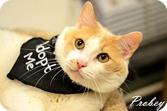 Domestic Shorthair Cat for adoption in Arlington/Ft Worth, Texas - Probey
